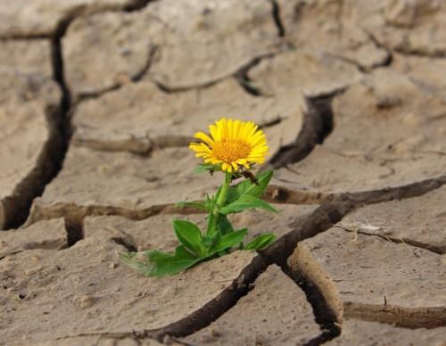 砂漠に咲く花