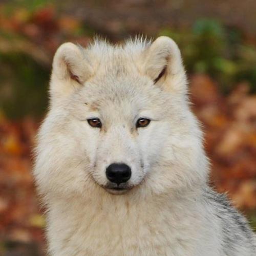 ルーポオオカミ