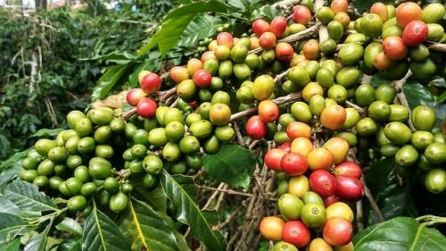 アラビカ種コーヒー豆